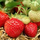 200 Mara des Bois Organic STRAWBERRY seeds from my garden In France