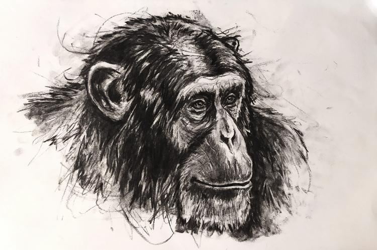DESSIN de Poret dessin animalier artiste animalier Singe - Portrait de Chimpanzé n° 8