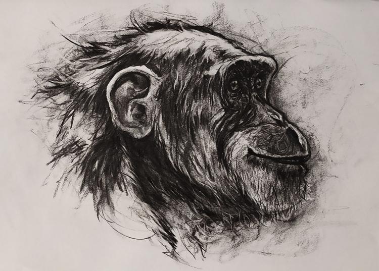 DESSIN de Poret dessin animalier artiste animalier singe - Portrait de Chimpanzé n° 7