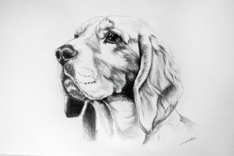 DESSIN de Poret dessin animalier artiste animalier beagle - Beagle