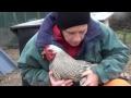 Administrer une me�dication à une poule