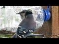 Bouteille 4 litres en mangeoire d'oiseaux