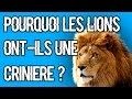 POURQUOI LES LIONS ONT-ILS UNE CRINIERE ? #21