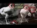 Vivant Mais Sans Tête : Histoire Vraie D'un Poulet Etrange