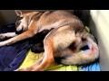 Vidéo Naissance de chiots chiens-loups tchécoslovaques Elevage des Loups d'Akairo