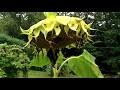 Cultiver du Tournesol, le planter, récolter et comment faire pousser du Tournesol Bio au Jardin