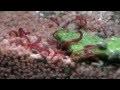 Vers de vase vivants, Chironomus plumosus