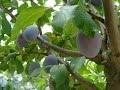 Le prunier : culture, plantation, taille, multiplication, entretien et récolte
