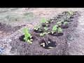 Comment planter les fraisiers et faire pousser les fraises