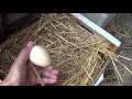Comment faire pondre un poule
