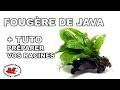 Plante aquatique : la Fougère de Java