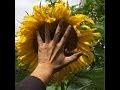 Tout savoir sur la culture du tournesol !  #Helianthus annuus