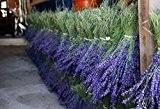 Bouquet de LAVANDE extra bleue Provenance Haute Provence