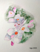 tableau fleurs aquarelle fleur camellia rose : Fleurs de Camellia