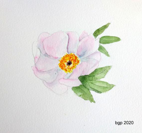 TABLEAU PEINTURE aquarelle fleurs pivoine Fleurs Aquarelle  - Pivoine