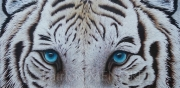 "tableau animaux animaux tigre fauve felin : ""SAHRAAN"""