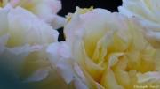 photo fleurs fleurs rose : coeur de rose