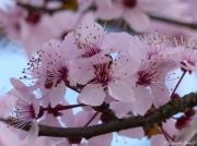 photo fleurs fleurs arbre cerisier rose : fleurs de cerisier