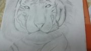 dessin animaux tigre animaux crayon : Albinos