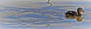 photo animaux canneton etang animaux nature : première ballade de canneton