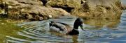 photo animaux canard etang eau nature : canard en ballade