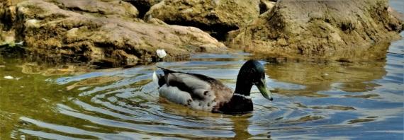 PHOTO canard étang eau nature Animaux  - canard en ballade
