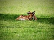 photo animaux faon nature animaux herbe : jeune Faon
