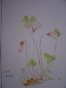 dessin fleurs botanique oxalis : trèfle