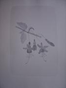 dessin fleurs botanique fuschia : fuschia gris