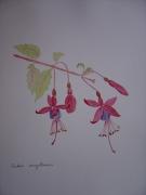 dessin fleurs botanique fuschia : fuschia