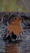 tableau animaux animaux oiseau peinture tableau : le bain du rouge gorge