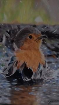 the bath of a robin