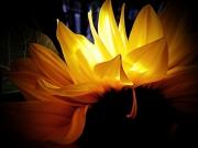 photo fleurs : TOURNESOL