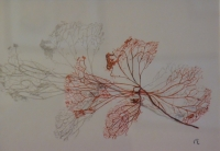 petale d'hortensia