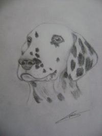 dalmatien profil