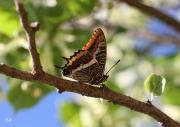photo autres papillon couleurs parure africaine macro : Jason