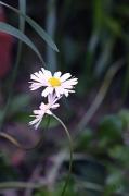 photo fleurs fleurs nature jardin printemps : Pâquerettes amoureuses