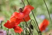 photo fleurs fleurs coquelicots rouges danseurs : Coquelicots danseurs