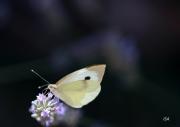 photo autres papillon fragilite purete liberte : papillon blanc