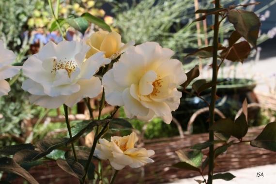 PHOTO roses couleur vanille parfum jardin Fleurs  - Roses vanille