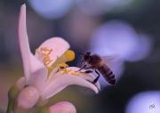 photo autres fleur citron abeille parfum macro : L'abeille et la fleur