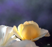 tableau fleurs rose purete fragilite fraicheur : Rose naissante
