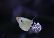 photo autres papillon purete fragilite liberte : Papillon lavande