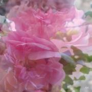 photo fleurs roses melees fraicheur pastel douceur : Petites roses