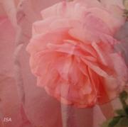 photo fleurs fleurs roses parfum nostalgie : roses superposées