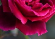 photo fleurs rose petales parfum envoutant : pétales de roses