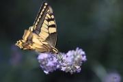 photo papillon lavande harmonie couleurs : Papillon