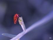 photo insecte telephore regard expression : Regard Téléphore Fauve