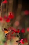 photo autres colibri papillon fleurs rouges rapidite harmonie : colibri papillon fleurs rouges