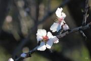 photo fleurs fleurs miel parfum printemps : fleurs d'amandier